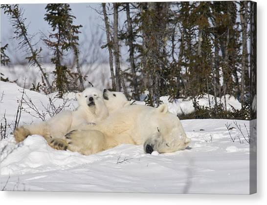 Polar Bear Family Resting Canvas Print