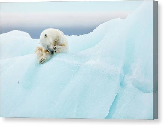 Groom Canvas Print - Polar Bear Grooming by Joan Gil Raga