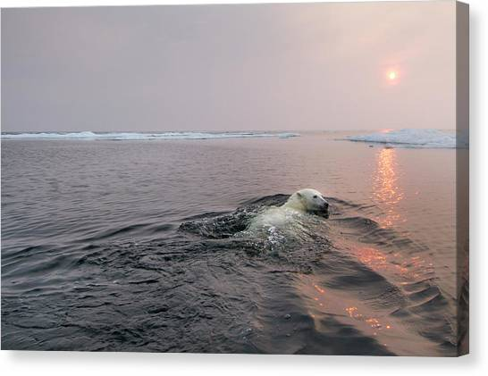 Polar Bear, Hudson Bay, Canada Canvas Print
