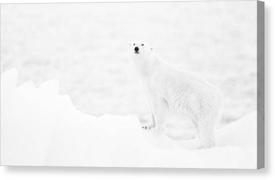 Polar Bears Canvas Print - Polar Bear In B&w by Joan Gil Raga