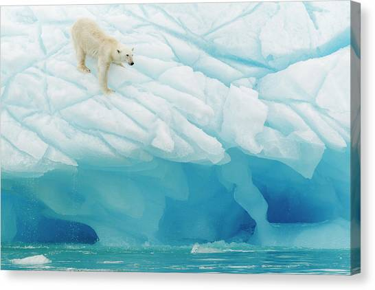 Snow Melt Canvas Print - Polar Bear by Joan Gil Raga