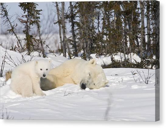 Polar Bear Mother Sleeps As Her Cub Looks Around Canvas Print