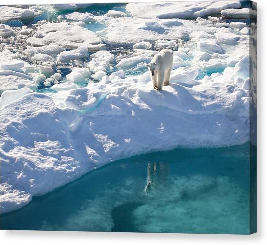 Polar Bear Reflection Canvas Print