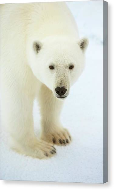 Bear Claws Canvas Print - Polar Bear Standing Close Up by Peter J. Raymond