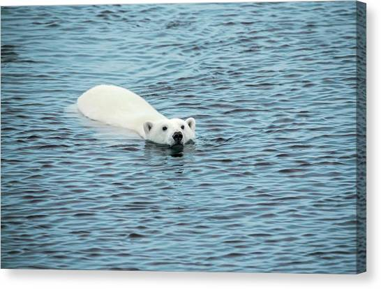 Bears Canvas Print - Polar Bear Swimming by Peter J. Raymond