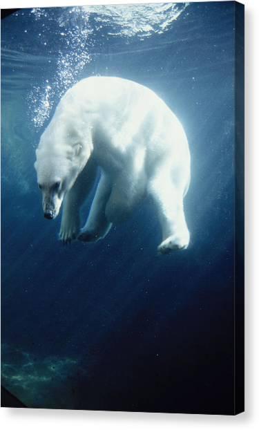 Bears Canvas Print - Polar Bear Swimming Underwater Alaska by Steven Kazlowski
