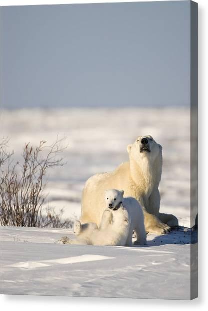 Polar Bear Watches Cubs Play Canvas Print