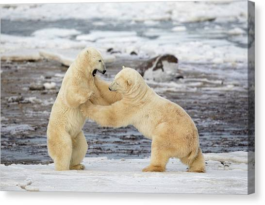 Wrestling Canvas Print - Polar Bears by Alessandro Catta