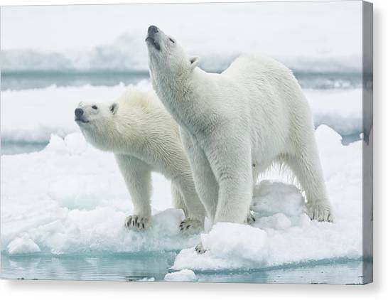 Frost Canvas Print - Polar Bears, Mother And Son by Joan Gil Raga