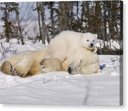 Polar Cub Hugs Its Sleeping Mother Canvas Print