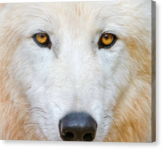 Arctic Wolf Canvas Print - Polar Wolf by Picture By Tambako The Jaguar
