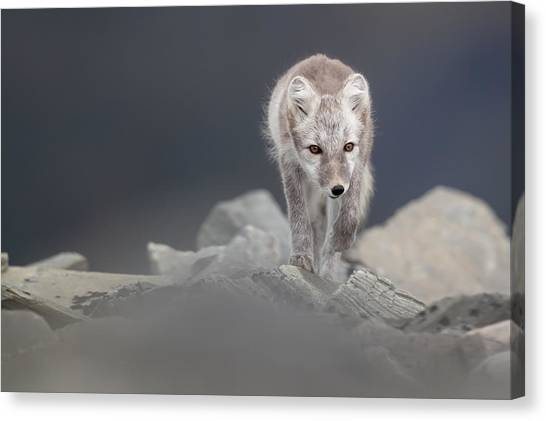 Polarfox Canvas Print by Kennethpingel.com