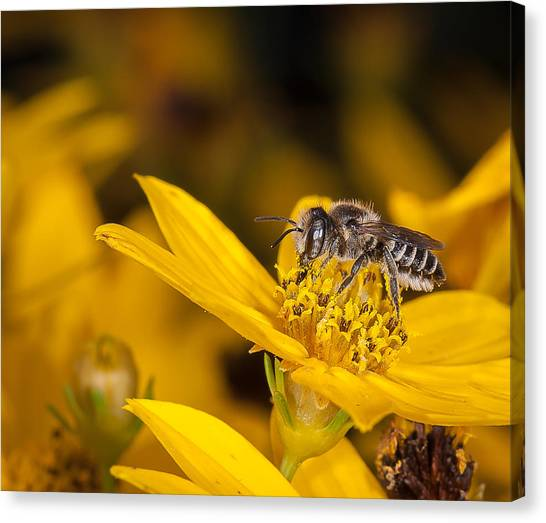 Pollenating Coreopsis Flower Canvas Print