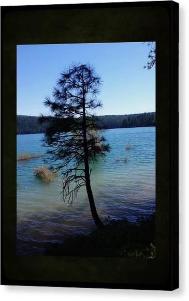Pollock Pine Canvas Print