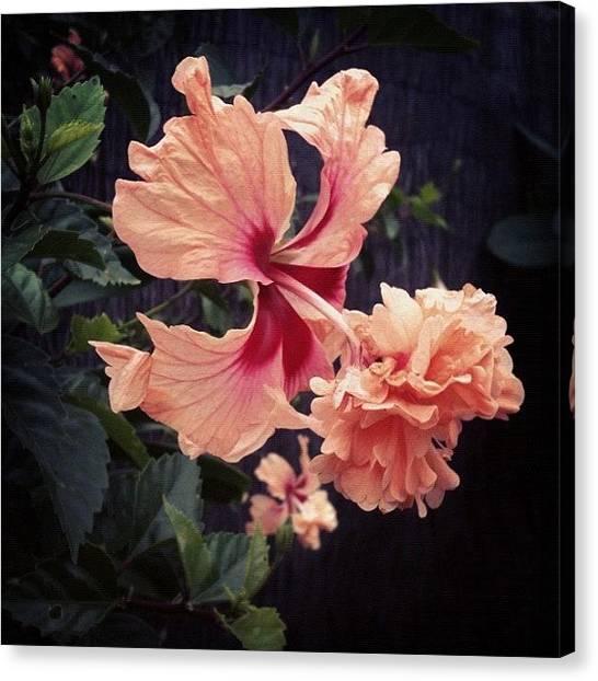 Pom-pom Canvas Print - Pom Pom Hibiscus by Alison Miller
