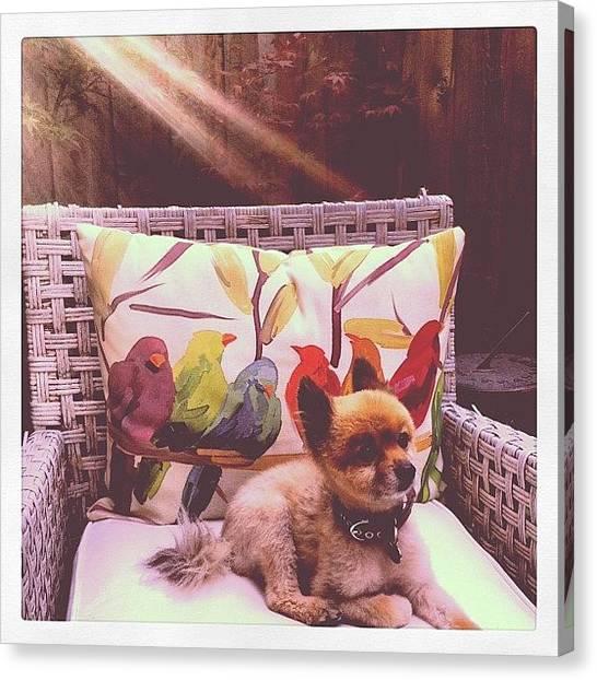 Pom-pom Canvas Print - #pom #pomeranian #sunlight by Lauren E