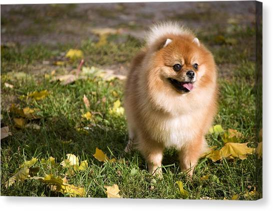 Pom-pom Canvas Print - Pomeranian Dog by Anna Aybetova