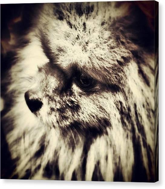 Pom-pom Canvas Print - #pomeranian Eyes #poms #dogs #cani #cane by Stewy Buothz