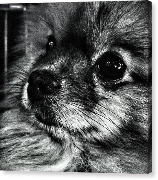 Pom-pom Canvas Print - #pomeranian #eyes #poms #dogs #dog by Stewy Buothz