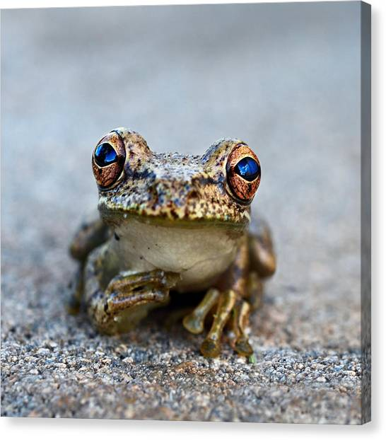 Florida Wildlife Canvas Print - Pondering Frog by Laura Fasulo