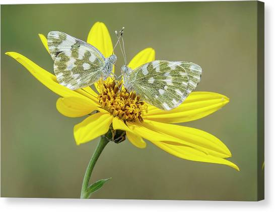 Yellow Butterfly Canvas Print - Pontia Edusa by Marco Polonioli