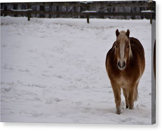 Pony In Snow Canvas Print by Nickaleen Neff