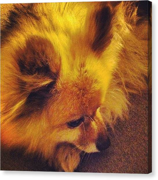 Pom-pom Canvas Print - Poor Lil Guy Is Tuckered Out, After He by Lauren E