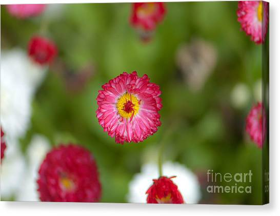 Pop Of Pink Canvas Print by Sarah Crites