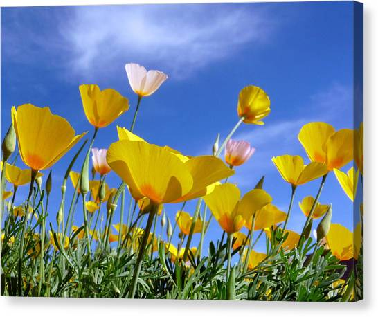 Poppies And Blue Arizona Sky Canvas Print
