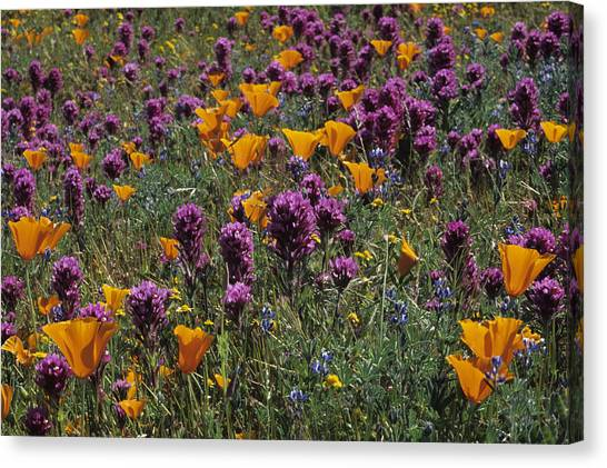 Poppies And Owl Clover Canvas Print