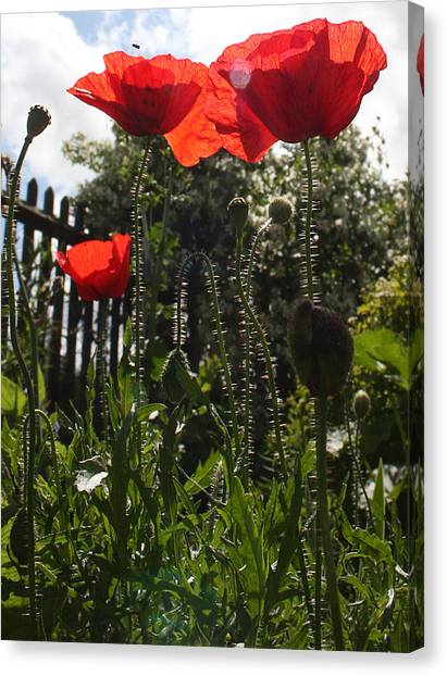 Poppies In The Sun Canvas Print by Stephen Norris