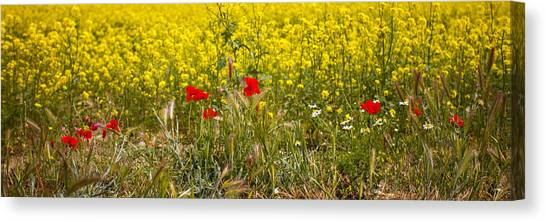 Poppies In Yellow Field Canvas Print
