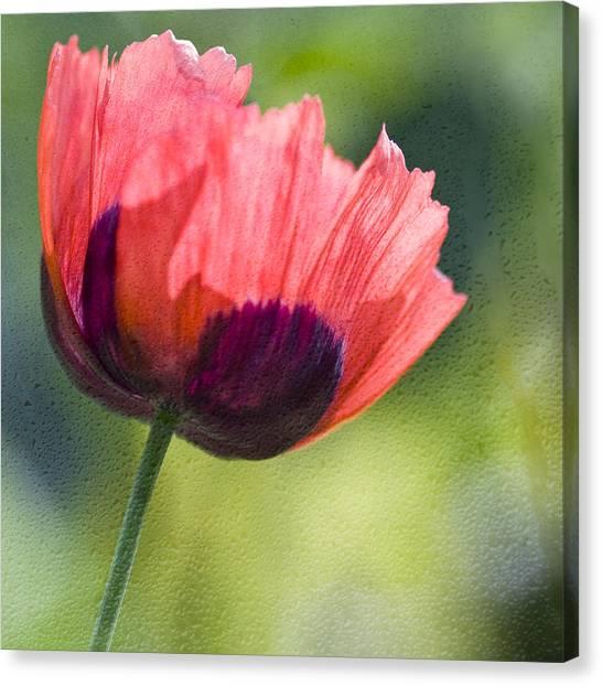 Poppy Backlit  Canvas Print