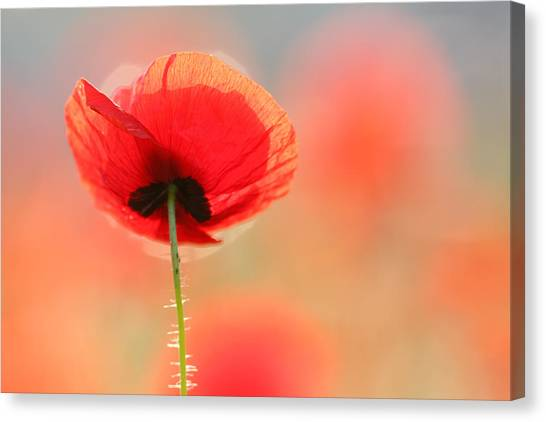 Romantic Flower Canvas Print - Poppy Dream by Roeselien Raimond