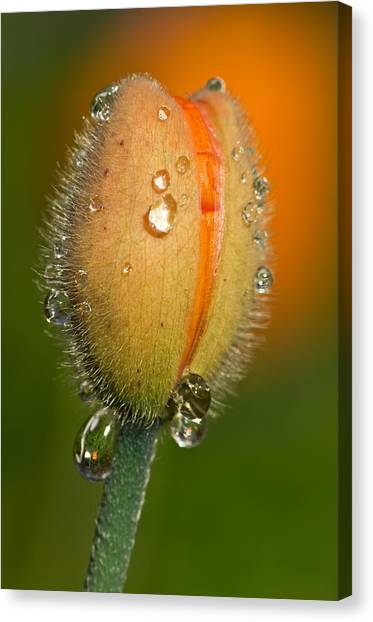 Poppy Drops Canvas Print