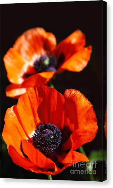 Poppy Flower Pair Canvas Print