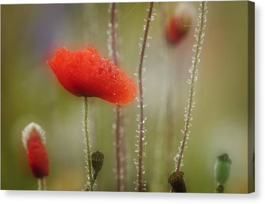 Andy Bloom Canvas Print - Poppy I by Andy-Kim Moeller