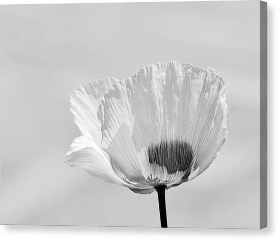 Poppy In White Canvas Print