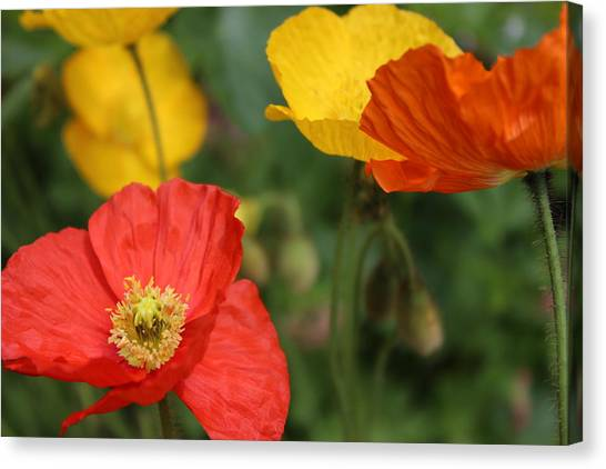 Poppy Iv Canvas Print