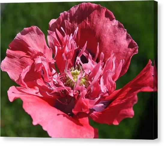 Poppy Pink Canvas Print