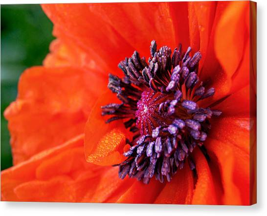 Poppy's Purple Passion Canvas Print