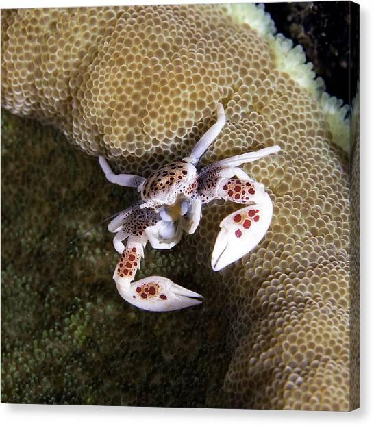 Porcelain Crab Canvas Print by Paula Marie deBaleau