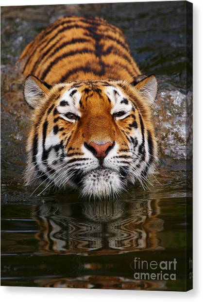 Portrait Of A Bathing Siberian Tiger Canvas Print