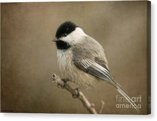 Portrait Of A Blackcapped Chickadee Canvas Print