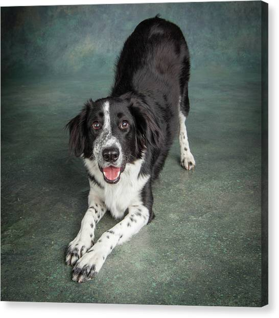 Border Collies Canvas Print - Portrait Of A Border Collie Mix Dog by Animal Images