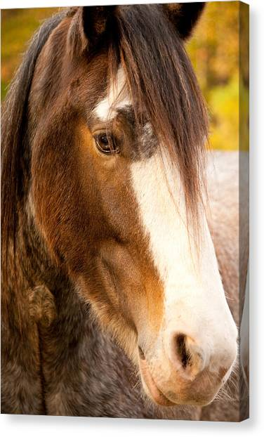 Portrait Of A Clydesdale Canvas Print