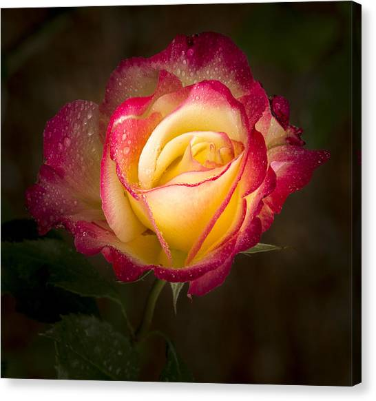 Portrait Of A Double Delight Rose Canvas Print