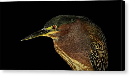 Portrait Of A Green Heron Canvas Print