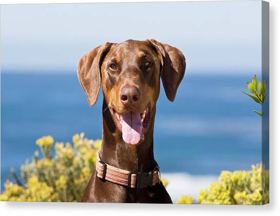 Doberman Pinschers Canvas Print - Portrait Of A Happy Doberman Pinscher by Zandria Muench Beraldo