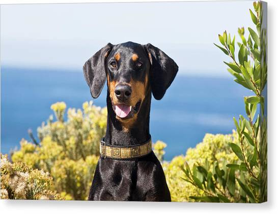 Doberman Pinschers Canvas Print - Portrait Of A Happy Doberman by Zandria Muench Beraldo